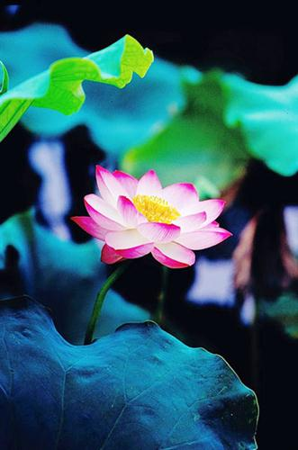Summer lotus at West Lake Hangzhou