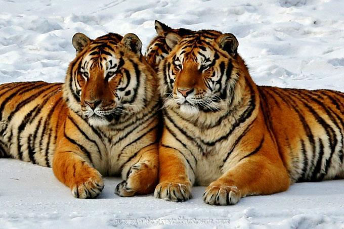 The Siberia Tigers are so graceful enjoy their time in the park.