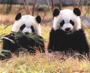 1 Day Chengdu Ya'an Bifengxia Panda Tour