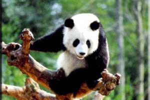 2 Days Wolong Panda Tour--Wolong Giant Pandas Nature Reserve Tour