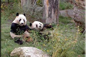 4 Days Chengdu Panda Tour--Chengdu Research Base of Giant Panda Breeding, Sanxingdui Bronze Ware Museum Tour
