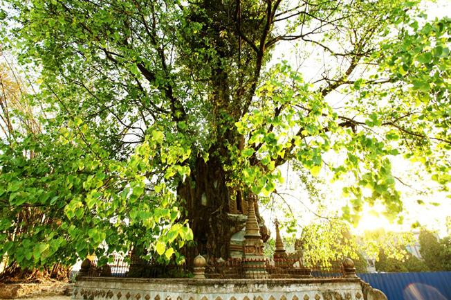 Pagoda in Tree was grew up into a large Banyan tree after hundreds years